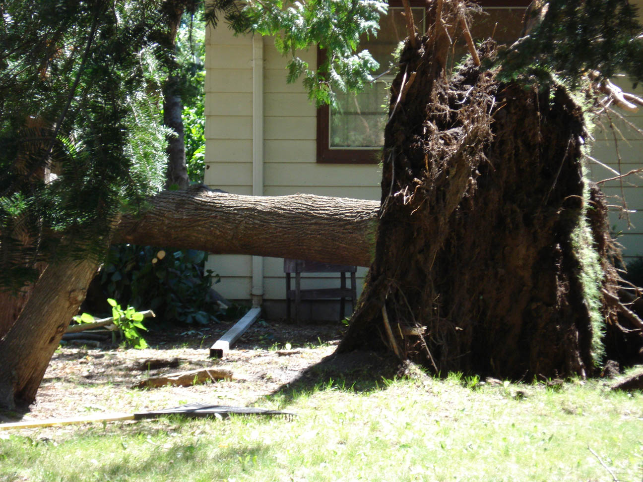 Tree uprooted, west side of Little Falls, MN, July 12, 2008