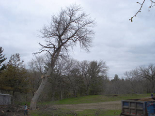 Old Ash Tree, photo by Alice Smuda, 2008